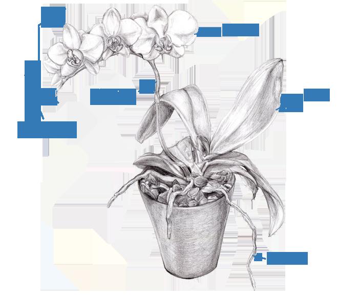 de bouw van een orchidee