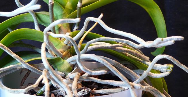 De wortels van een orchidee